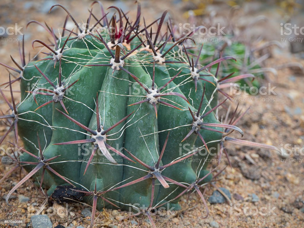 closeup of the cactus. stock photo