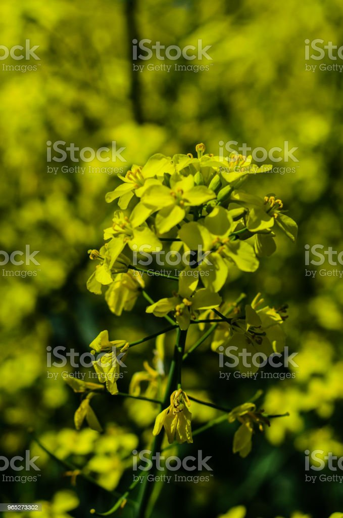 Close-up of the canola flower royalty-free stock photo