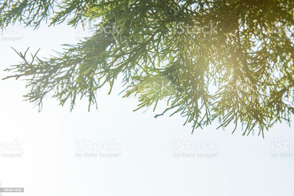 Closeup de cipreste o folhas. - foto de acervo