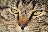 Close-up of the nose and green eyes of a gray or tabby cat.