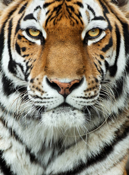 Tiger primer plano - foto de stock
