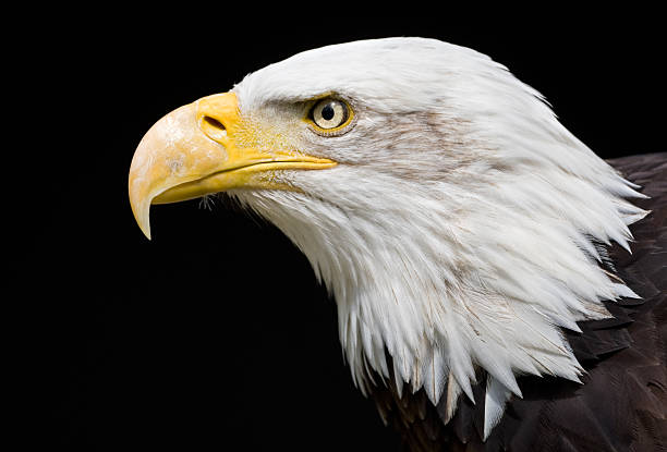 Close-up of the head of a bald eagle on a black background stock photo