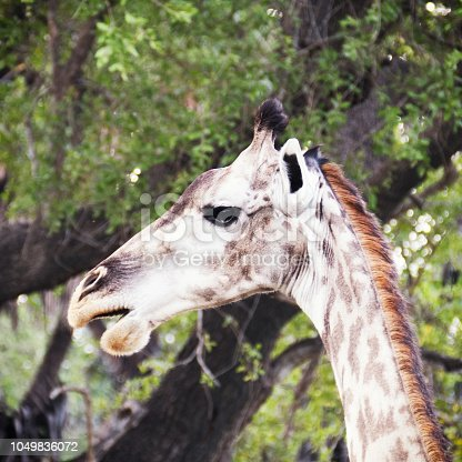 Side view of a giraffe head standing in front  a tree.