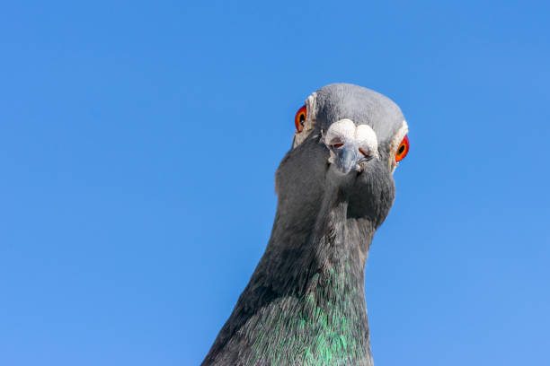 Closeup of the head of a racing pigeon. Portrait of a racing or homing pigeon looking into the camera. pigeon stock pictures, royalty-free photos & images