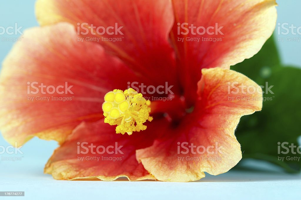 Close-up of the hibiscus flower royalty-free stock photo