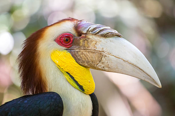 close-up of the hornbill, borneo, malaysia. - daunenmantel schwarz stock-fotos und bilder
