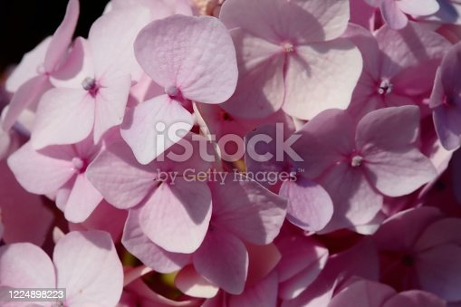 Closeup of the inflorescence of a pink hydrangea