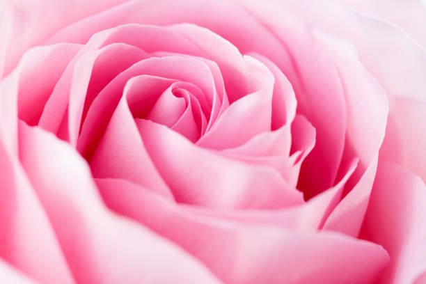 Close-up of the light pink rose. Selective focus. stock photo