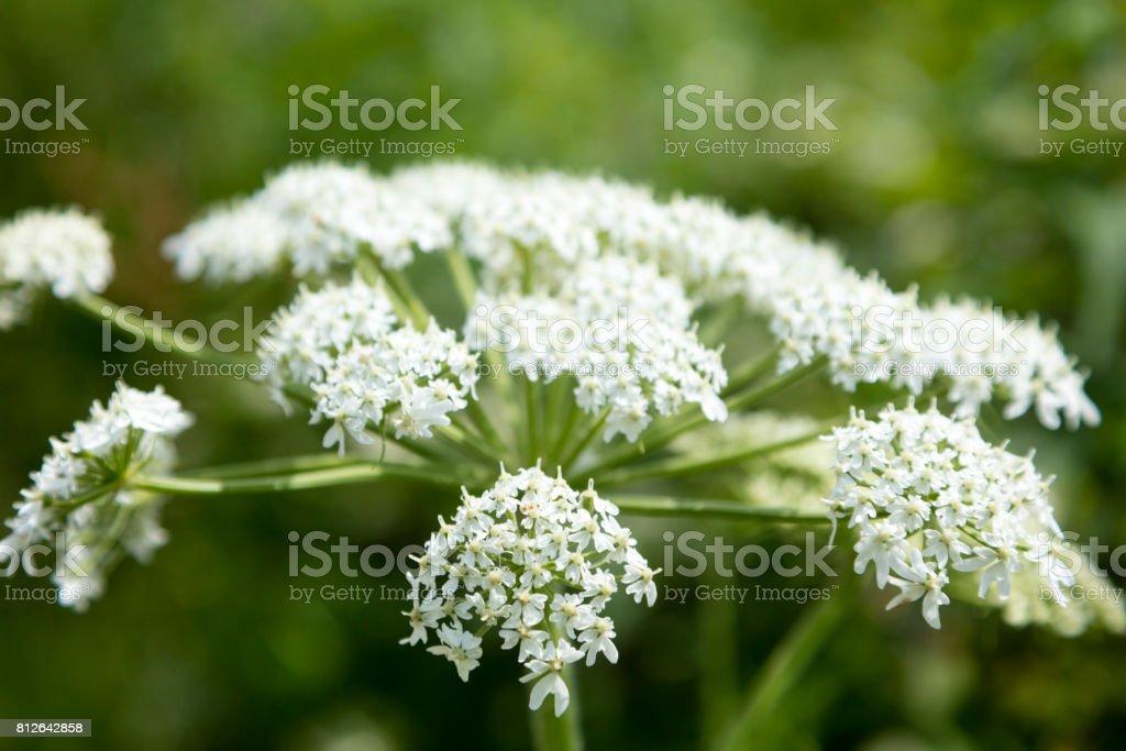 Close-up van de kleine witte bloemen van een koe pastinaak plant (Heracleum maximum), zoals te zien in Bonaventure eiland in Percé, Gaspésie regio. foto