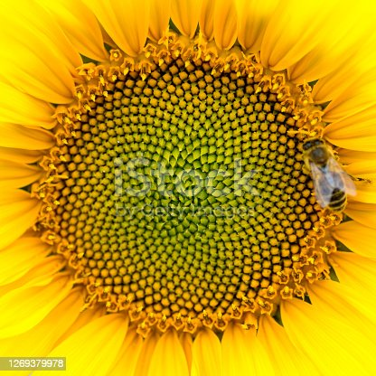 Close-up of the middle of a sunflower (Helianthus annuus) with a honey bee (Apis mellifera), square