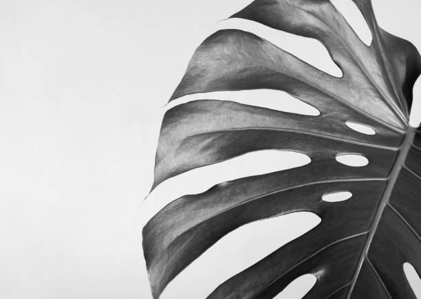 Close-up of the monstera leaf. Abstract composition. Black and white photography. stock photo