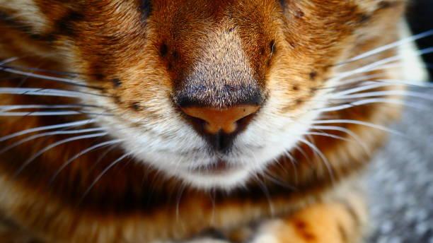 plan rapproché du nez d'un chat bengal avec ses moustaches - moustaches animales photos et images de collection