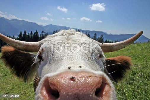 Close encounter with a cow