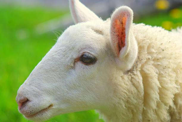 gros plan du mouton - année du mouton photos et images de collection