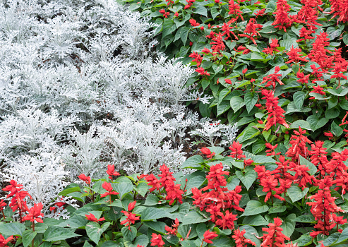 Closeup of the silver ragwoort and red Salvia flower row in the ornamental garden of the botanical garden.