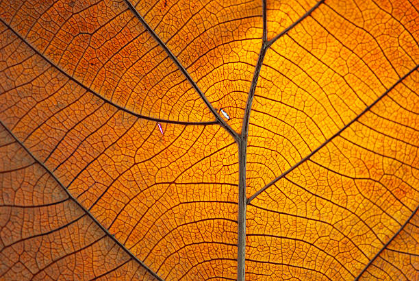 Close-up of the veins on a dry orange leaf stock photo