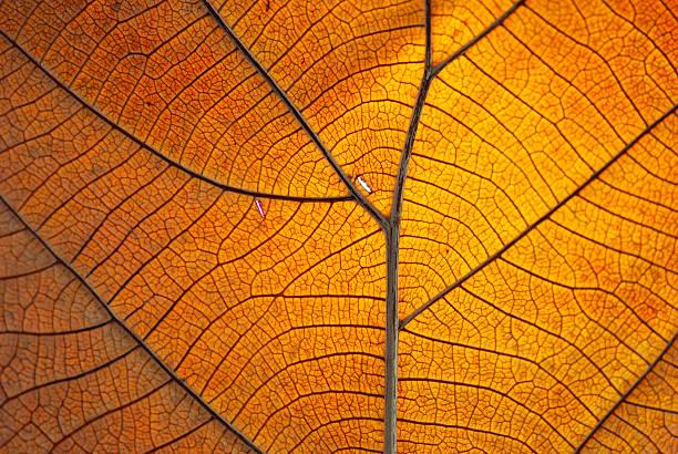 close-up of the veins on a dry orange leaf - makrofotografi bildbanksfoton och bilder