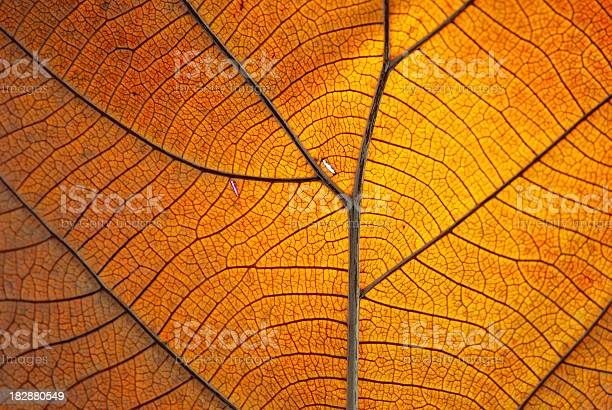 Photo of Close-up of the veins on a dry orange leaf