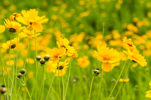 closeup of  the yellow coreopsis flower blooming in early summer