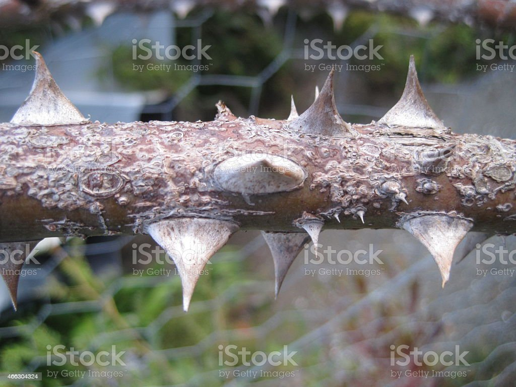 Close-up of Thorny Branch stock photo