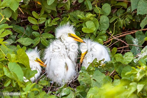 Closeup of three Great White egret chicks hidden in a nest in Shingle Creek Preserve in Kissimmee, Florida where Birders and Tourists enjoy the eco-tourism opportunities found there on a year-round basis.