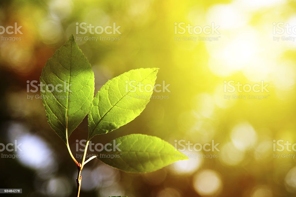 Close-up of three green leaves over a blurred backdrop royalty-free stock photo