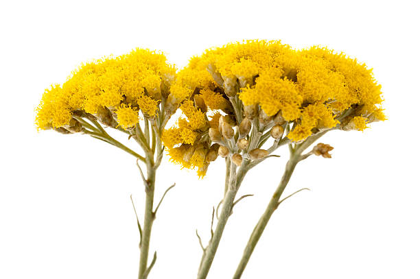 A close-up of three helychrysums Immortelle (Helychrysum) isolated on white background always stock pictures, royalty-free photos & images