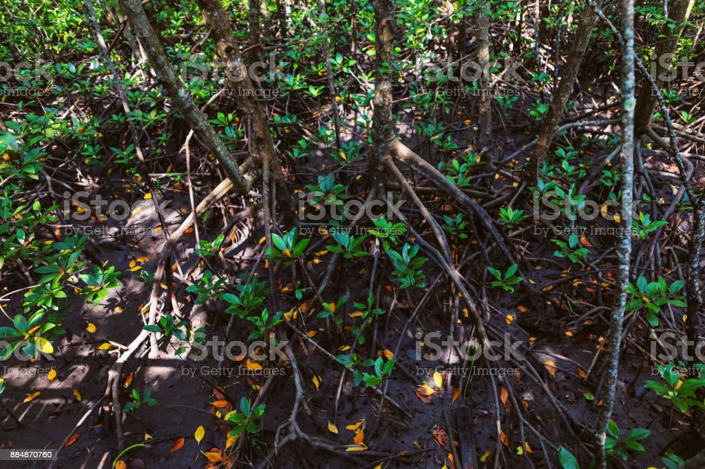 Close-up of Thung Kha Bay mangrove forest, Chumphon, Thailand stock photo