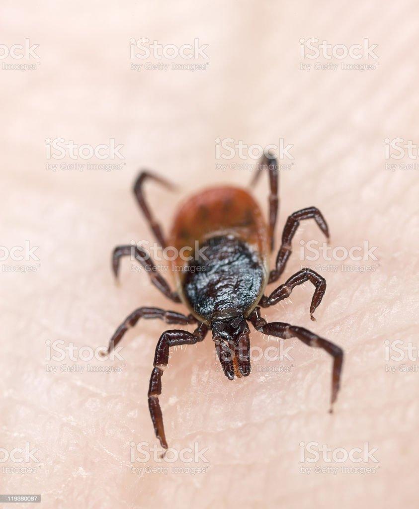 Close-up of tick crawling across human skin stock photo
