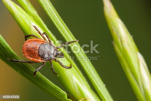 Closeup of a tick on a plant straw