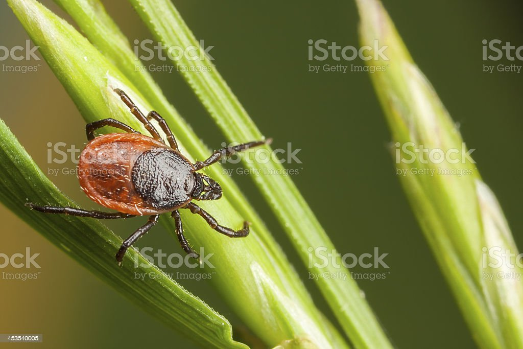Closeup of tick on a plant straw stock photo