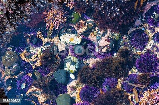 Closeup of tidepool at Yaquina Head Cobble Beach.  Purple sea urchin,Coralline algae,rockweed, and rocks lay in shallow waters.