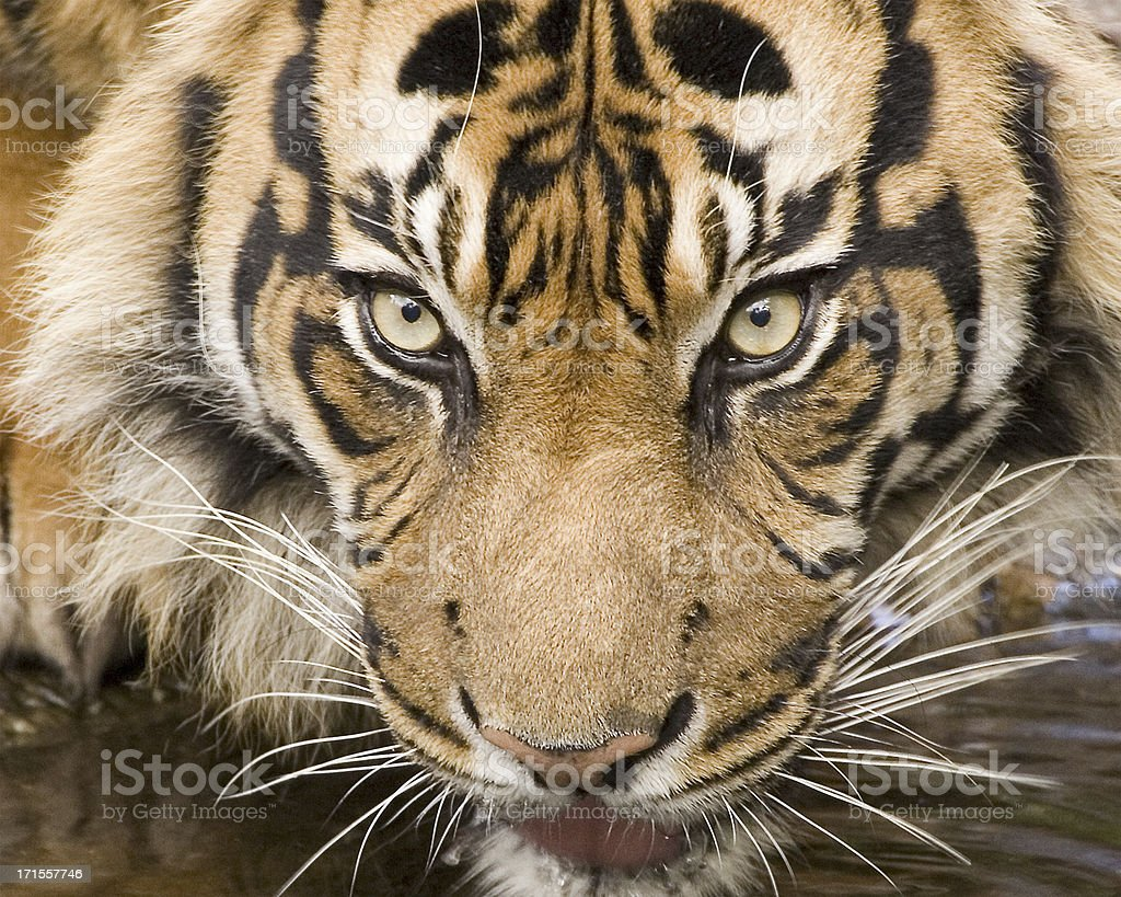 Closeup of tiger royalty-free stock photo