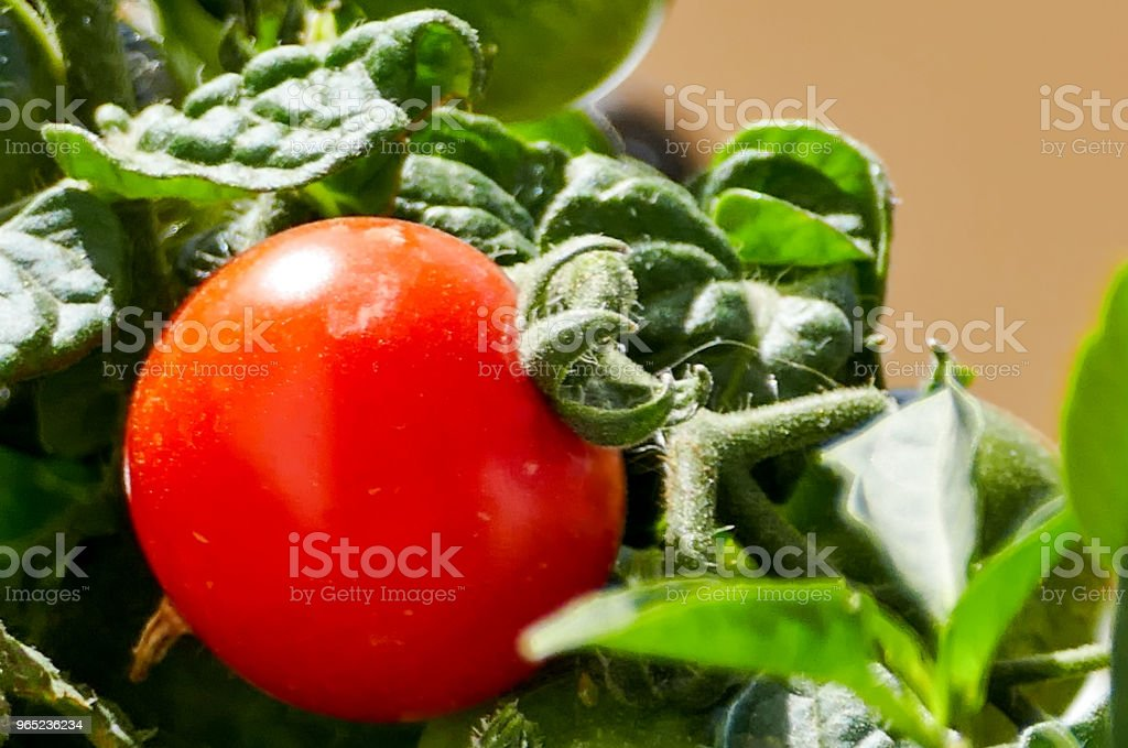 Close-up of tomato plant royalty-free stock photo