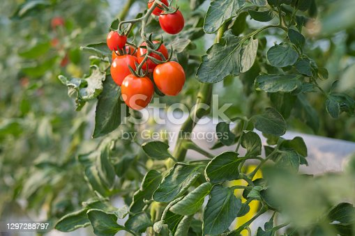 Close-up of tomatoes growing on plants in greenhouse.