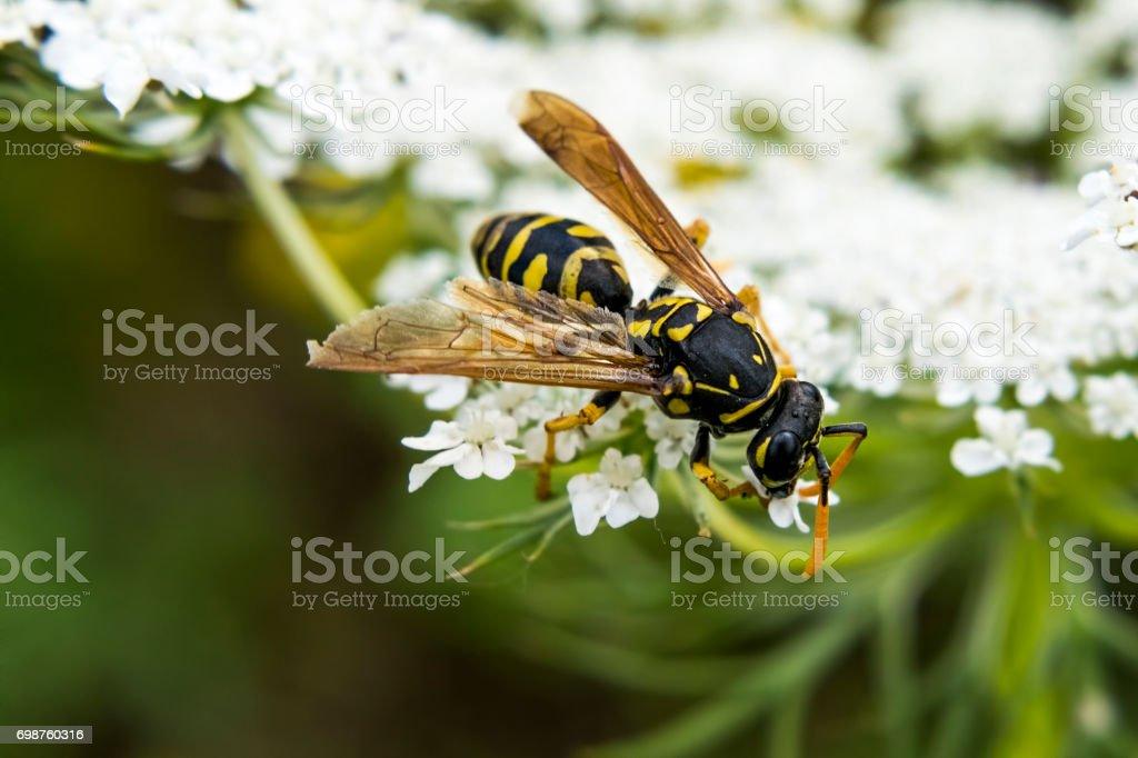 Primer plano de árbol avispa o Dolichovespula Sylvestris recogiendo néctar de delicadas flores blancas - foto de stock