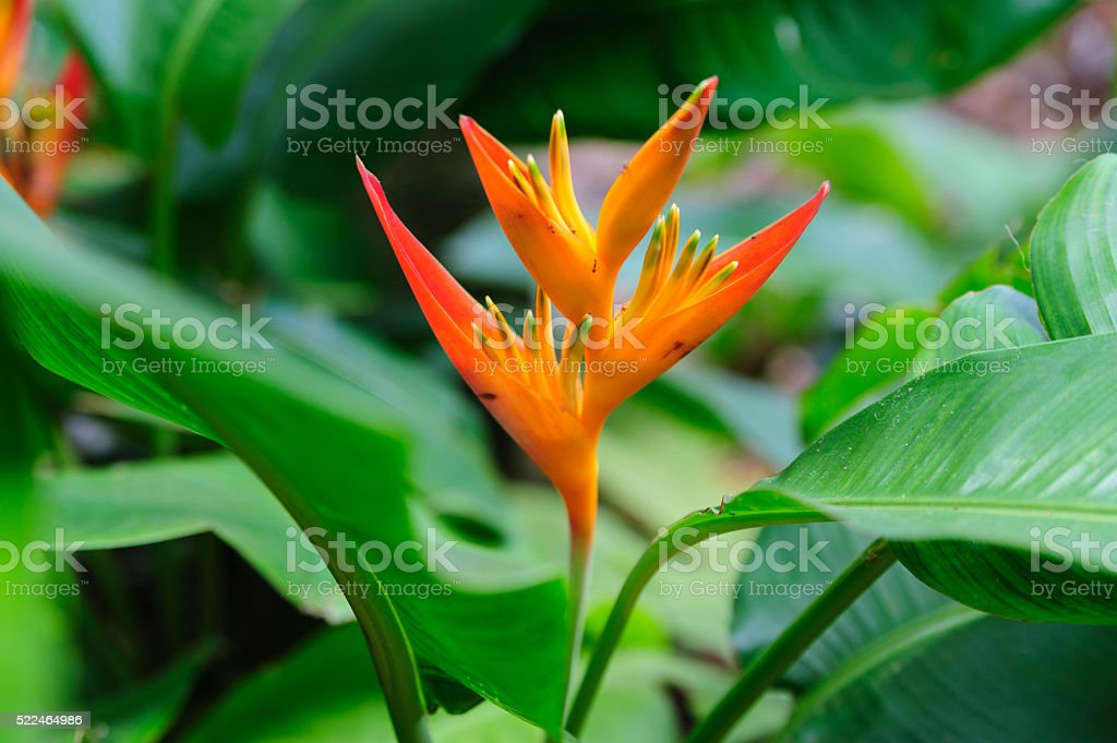 Close-up of tropical flower with ants stock photo