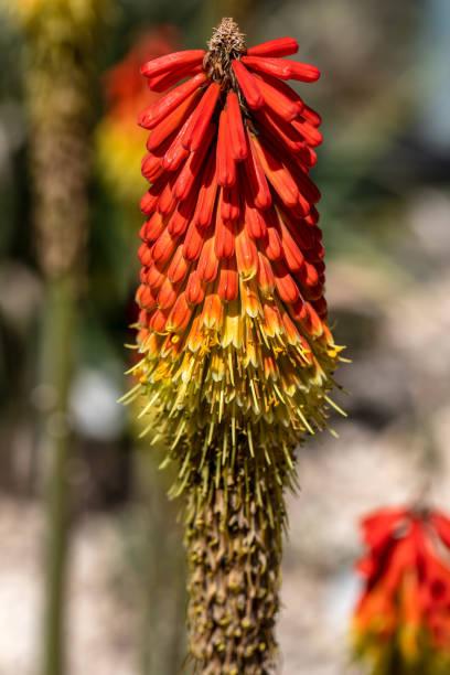 Nahaufnahme der tropischen Orangenblühenden Wildpflanze – Foto