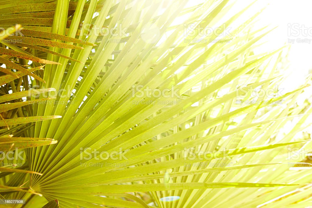 Close-up of tropical palm leaf in sun stock photo