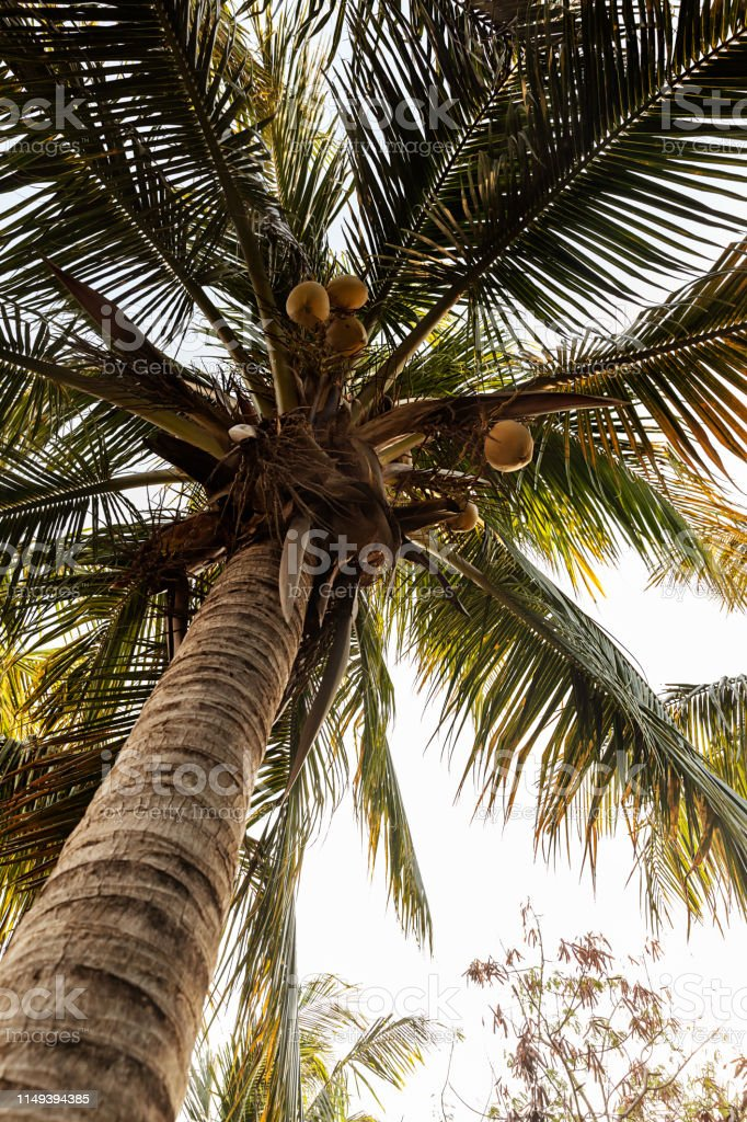 Closeup of tropical palm tree in the summer, nature travel adventure concept stock photo