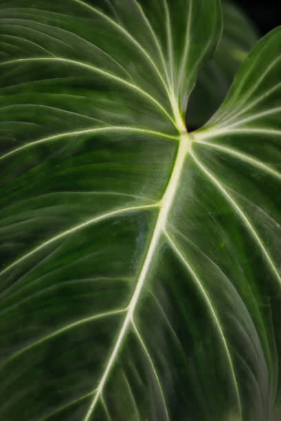 Nahaufnahme der tropischen Philodendron Ornatum-Blattblüten Pflanze – Foto
