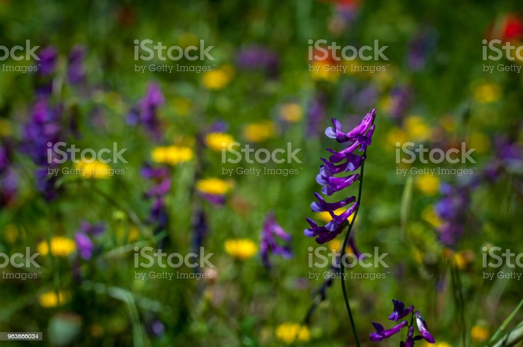 closeup of tufted vetch in a meadow - Royalty-free Beauty Stock Photo