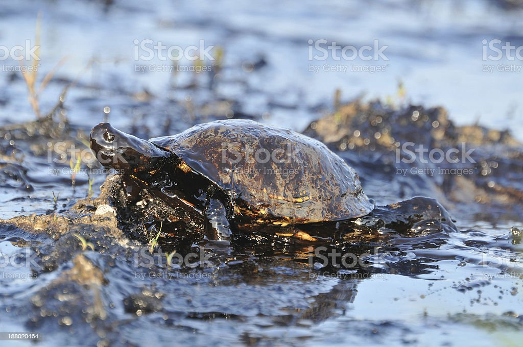 Close-up of turtle covered with petroleum stock photo