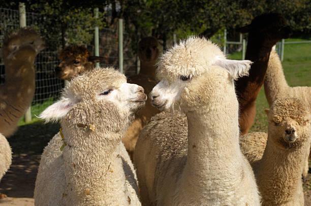 primer plano de dos alpaca - alpaca fotografías e imágenes de stock