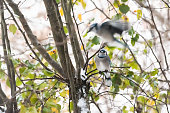 Closeup of two blue jay Cyanocitta cristata birds perched flying on tree branch in Virginia with wings motion and snow green leaves foliage