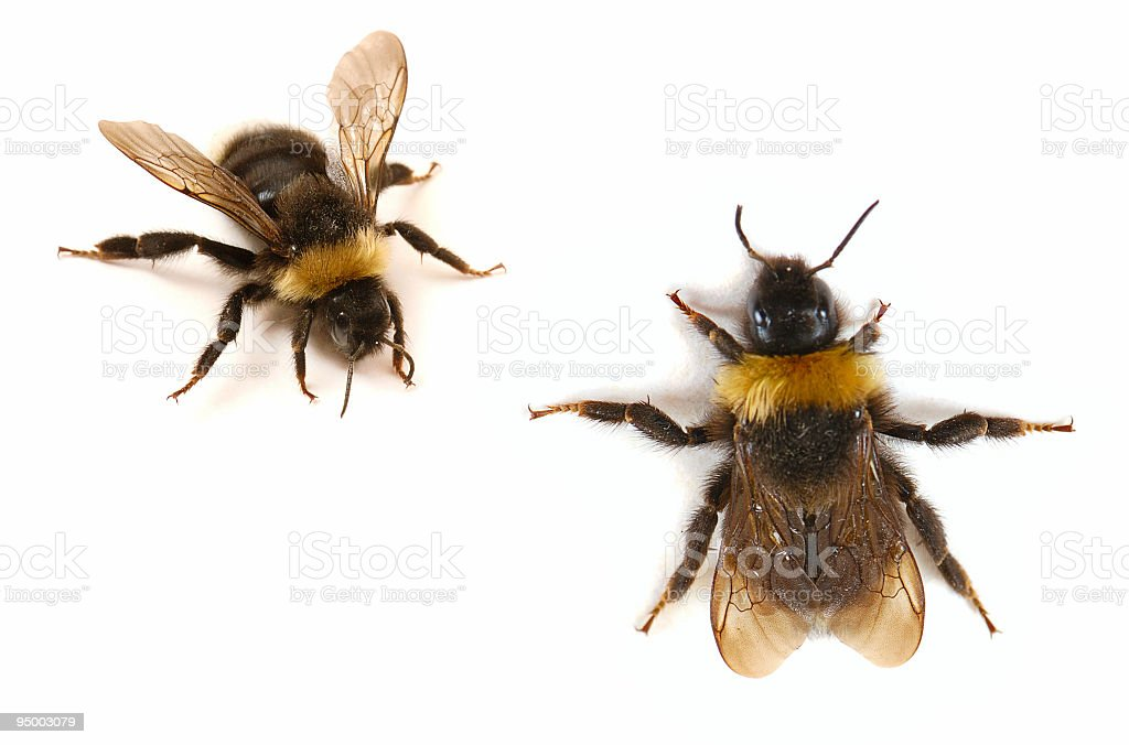 A close-up of two bumblebees. The front and back stock photo