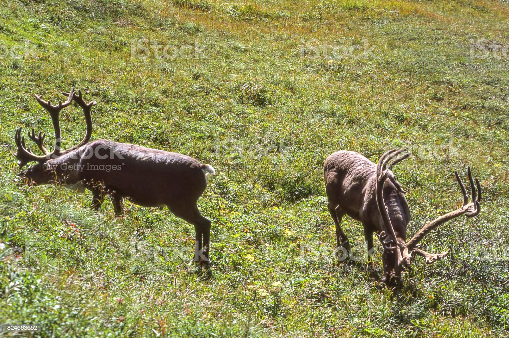 Close-up of Two Caribou Grassing on Grasses stock photo