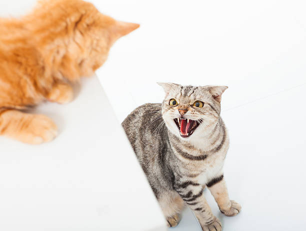 Closeup of two cats in a conflict over white background picture id508669117?b=1&k=6&m=508669117&s=612x612&w=0&h=nvgsj 0xjj xf tb8b8g2pepstluwuldvgpyct0w se=
