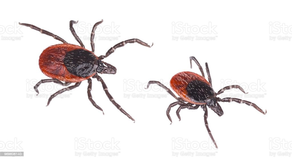 Close-up of two deer ticks. Castor bean tick. Ixodes ricinus. Isolated on white background stock photo