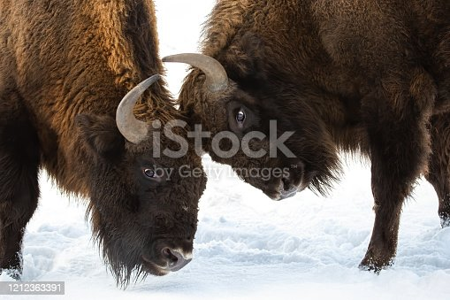 Close-up of two European bison, bison bonasus, males fighting over territory in winter on snow. Two huge brown wild mammals with horns pushing against each other with heads.